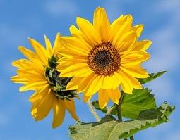 sunflower-0806.jpg